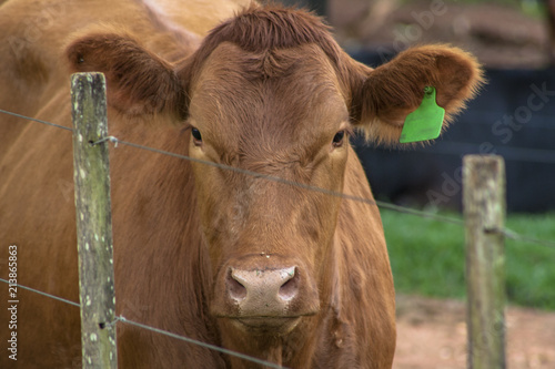 Plakat  Red angus Cattle