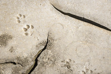 Dog Footprints In Cracked Dry Earth With Abstract Odd Shapes