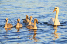 Swans Family Floating On The L...