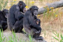 Black Chimpanzees Monkey Leavi...