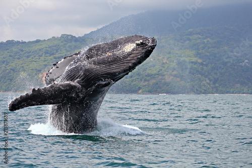 Fototapeta Humpback whale breaching in Marino Ballena National Park, Costa Rica