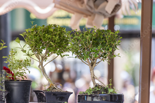 Couple of bonsai trees