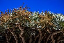 Huge Aloe Bainesii Tree In Blo...