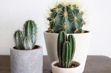 Several Cacti Plants On A Wooden Stand In Grey Cement Pots.