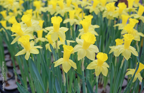 Deurstickers Narcis Yellow Daffodils flower field.