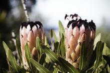 Oleander Leaf Protea (protea Neriifolia) Flowers In Full Bloom