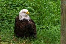 Bald Eagle In The Forest On Th...