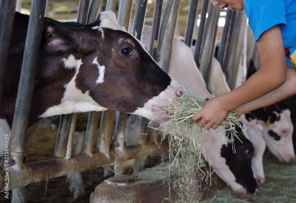 Fototapeta 干し草を食べる牛舎の牛