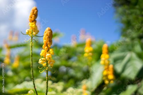 Carta da parati Senna alata flower, candle bush flower or christmas candles flower