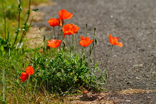 Foto op Aluminium Klaprozen red poppy growing by the roadside