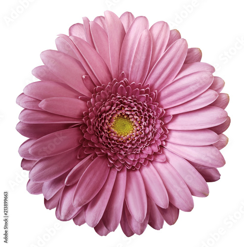 Foto op Canvas Gerbera Gerbera pink flower on white isolated background with clipping path. no shadows. Closeup. Nature.