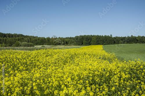 Spoed Foto op Canvas Platteland Yellow field of rape flowers, forest and blue sky