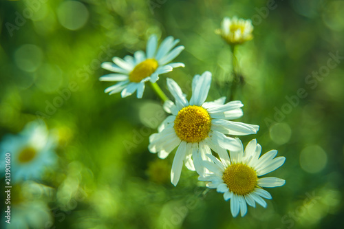 Foto op Canvas Madeliefjes White daisies on a meadow with bokeh effect