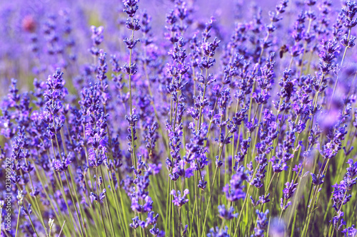 Photo  Lavender Field in the summer