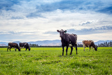 Fresian And Jersey Cows Graze In The Grassy Green Fields Under The Blue Summer Sky