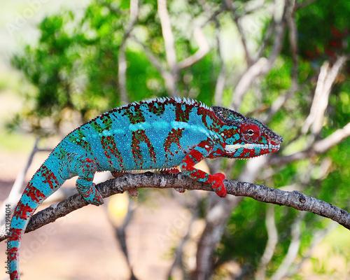chamaeleon furcifer pardalis