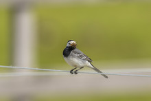 Wagtail That Has Its Beak Full Of Mosquitos On A Wire