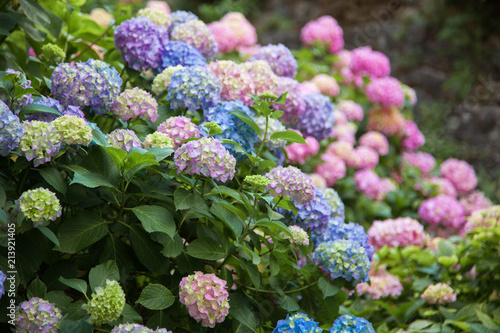 Poster de jardin Hortensia Hydrangea is pink, blue, lilac, violet, purple flowers are blooming in spring and summer at sunset in town garden.