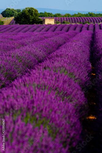 Foto op Plexiglas Violet Lavander field