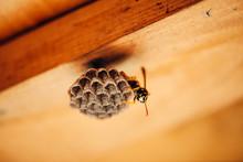Small Wasp Protect His Honeyco...