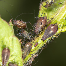 Aphids On A Plant In Nature