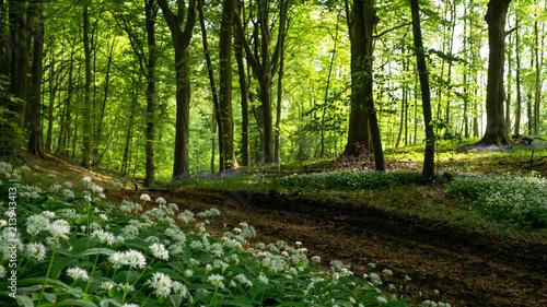 Fotobehang Bossen White flowers in Englisch Cotswolds Forest