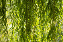 Branches Of White Willow (Sali...