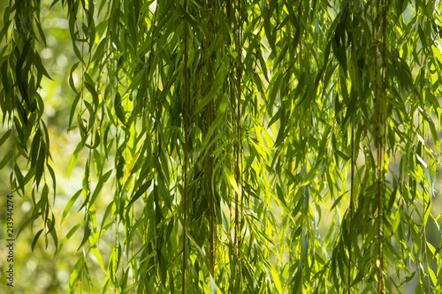 Tablou Canvas Branches of white willow (Salix alba) falling down