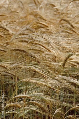 Fotografie, Obraz  grano farina agricoltura biologica castelvetro modena emilia romagna