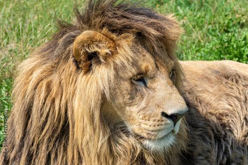 Zdjęcie XXL Męski lew ze wspaniałą grzywą leży na zielonej łące.