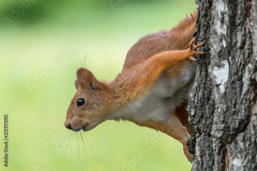Printed kitchen splashbacks Squirrel Eurasian red squirrel (Sciurus vulgaris), female, on birch trunk with blurred green background.