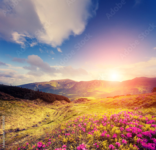 Wall mural - Magical pink rhododendron flowers in day light. Location place National park Chornogora, Carpathian.