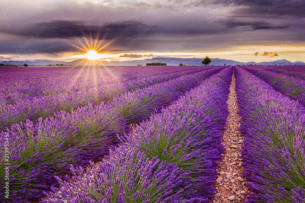 Fototapety, obrazy: Vivid lavender field during picturesque sunset. Endless fields, typical sign of region. Amazing scent and view. Travel, holiday, vacation, relax, peace.