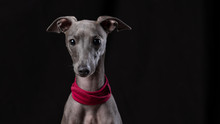 Italienisches Windspiel - Canis Lupus Familiaris