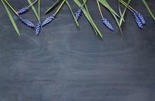 Muscari Flowers On The Dark Bl...