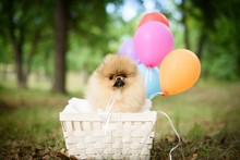 Puppy With Balloons Against Nature Background