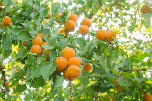 Apricot tree branch with ripe fruits