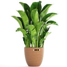 Banana Palm In A Pot