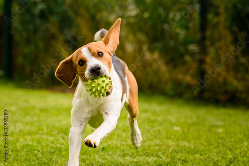 Beagle dog pet run and fun outdoor. Dog i garden in summer sunny day with ball having fun - 213965280