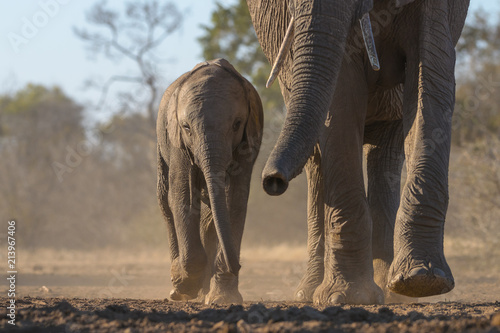 Foto op Canvas Olifant Walking Elephant and Calf