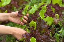 Hands Picking Lettuce In The Garden