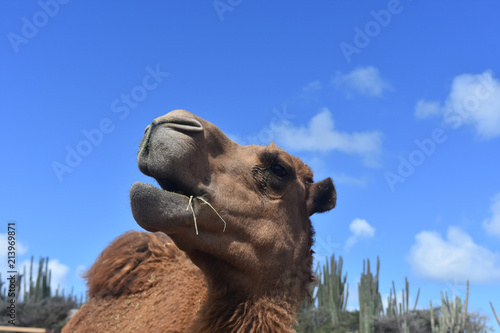 Camel with Cactus in the Background Against a Blue Sky