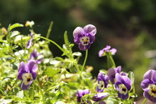 Multiple Light Purple Violas W...