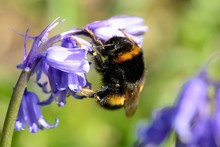 Bumble Bee On A Bluebell Flower