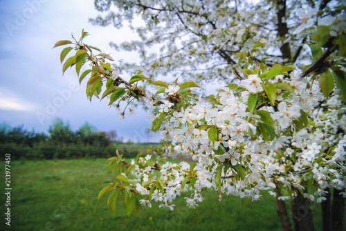 Pear tree in a small orchard in Masovian Voivodeship of Poland
