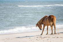 Foal Wild Horse On Beach At As...