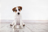 Fototapeta Zwierzęta - Puppy eating food from bowl