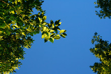 Green Foliage Against The Blue Sky