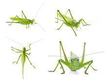 Set Of Green Locusts On White ...