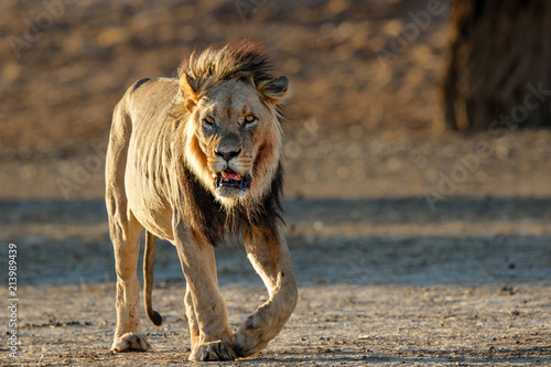 Zdjęcie XXL Stary męski lew chodzi w Kgalagadi Transfrontier parku w Południowa Afryka